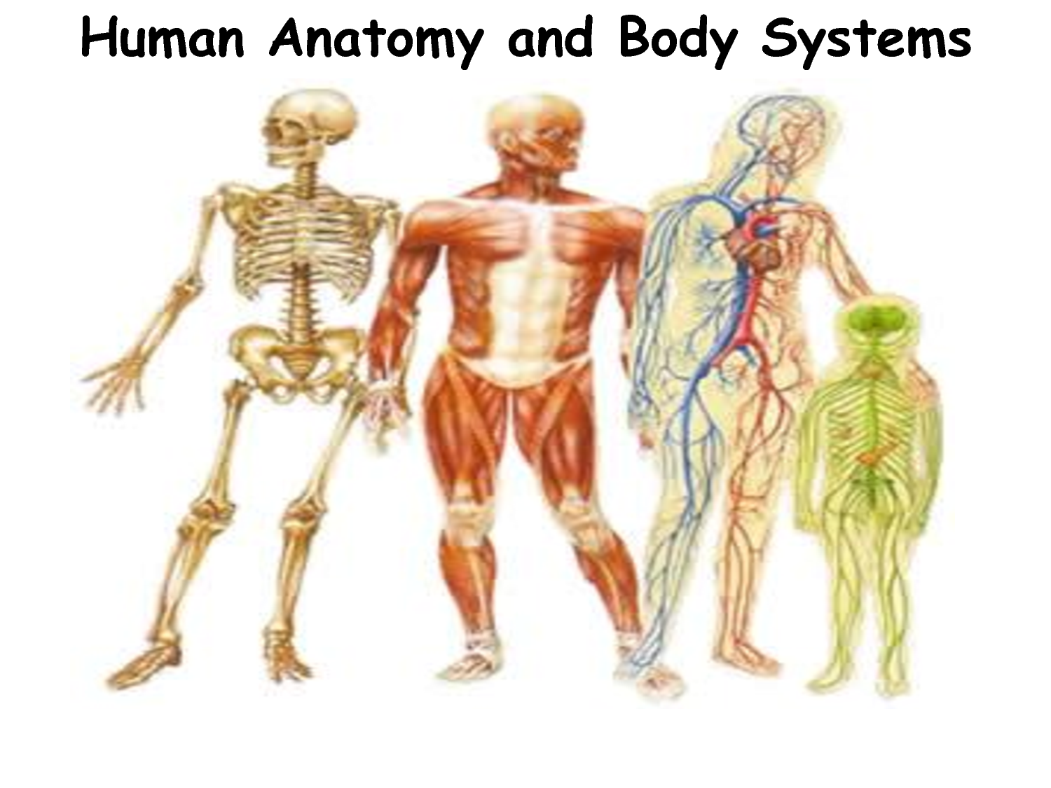 facts about our body system – citybeauty, Muscles