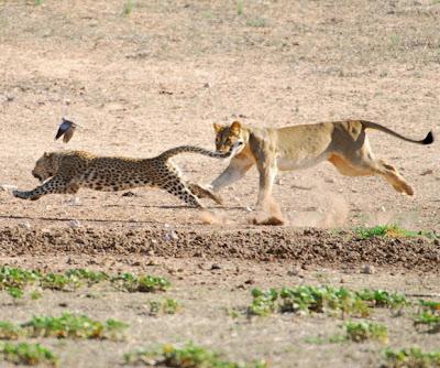 leao-vs-leopardo-africa
