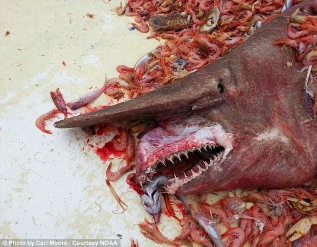 Jerung Purba 'Goblin Shark' Ditangkap
