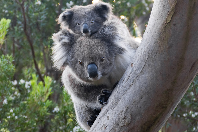 koala and joey at cape otway
