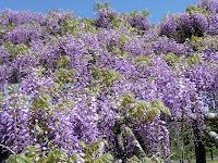 暖かい陽気に藤の花もご機嫌良さそう