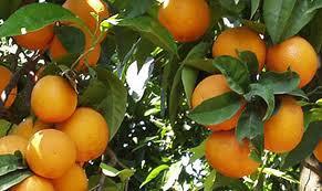 Energia dagli scarti degli agrumi siciliani