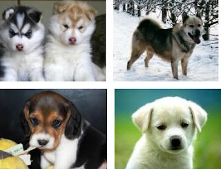 Boxer Puppy Breeders