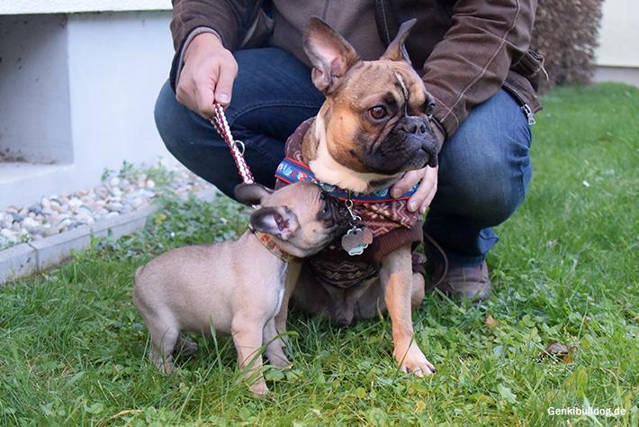 Französische Bulldogge Welpe Momo