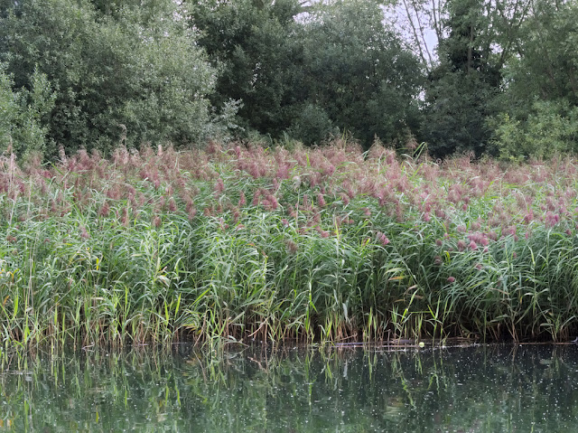Flowering reed bed