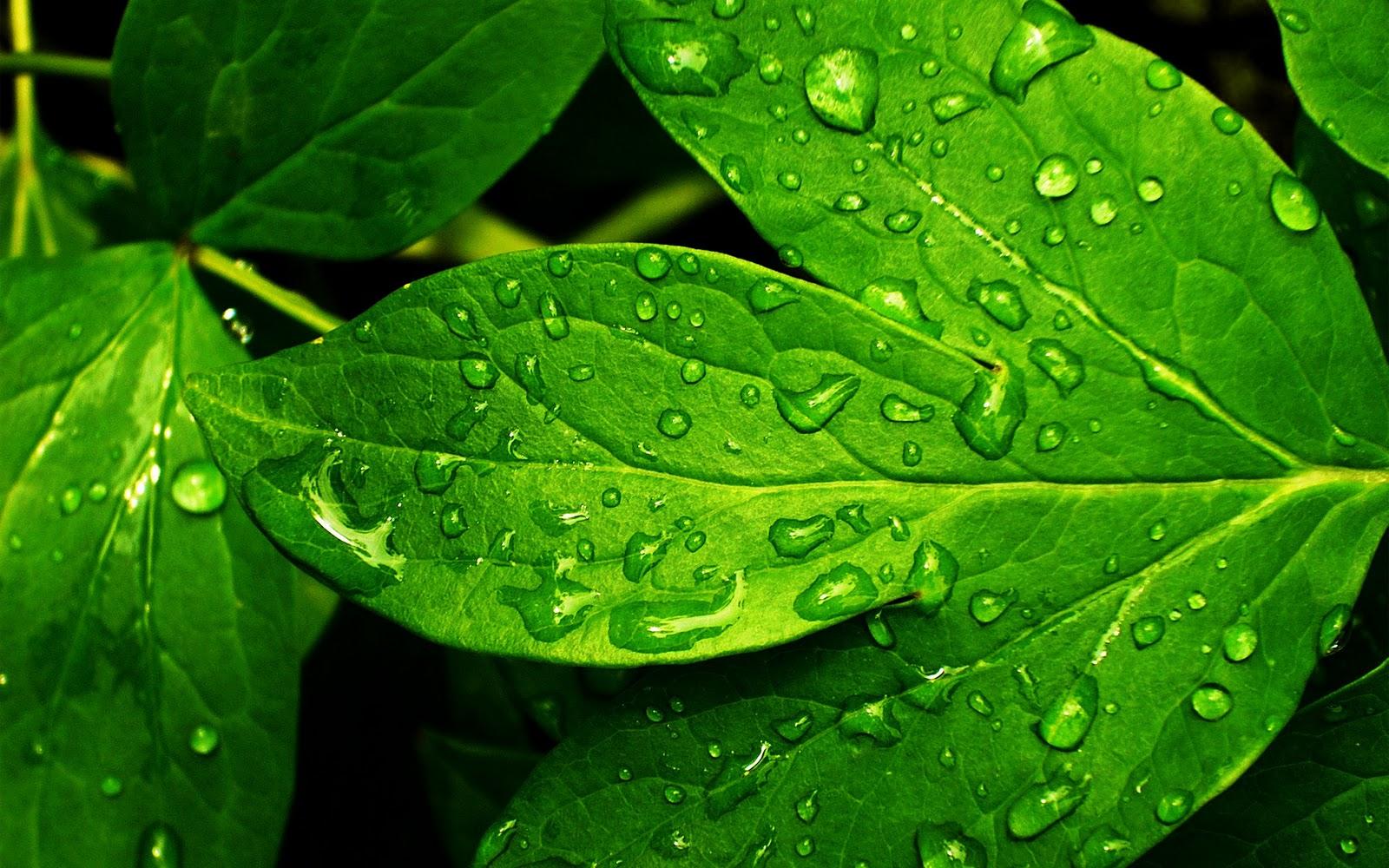 http://4.bp.blogspot.com/-kAuJF-hc478/TdgtdebR9MI/AAAAAAAAAMQ/MJF2gLd2WuU/s1600/1920x1200+leafs+drops+water+hd+wallpaper.jpg