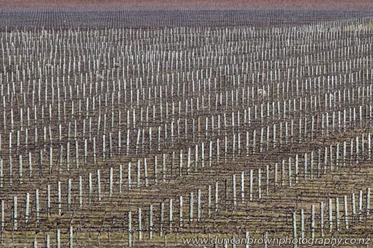 Winter vineyards at Roy's Hill photograph