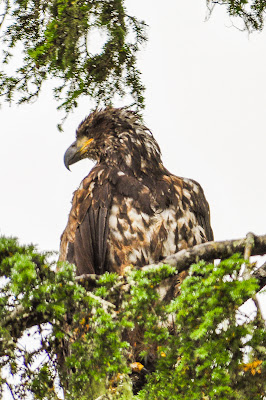 Juvenile Bald Eagle in Ketchikan