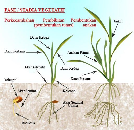 Fase stadia pertumbuhan tanaman padi gigih bertani fase vegetatif adalah awal pertumbuhan tanaman mulai dari perkecambahan benih sampai primordia bunga pembentukan malai ccuart Images