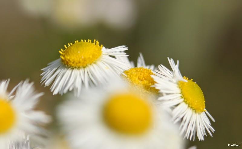 Fleur blanche çà cœur djaune