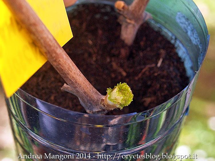 Orto antico mini guida fotografica come fare una talea for Uva fragola in vaso