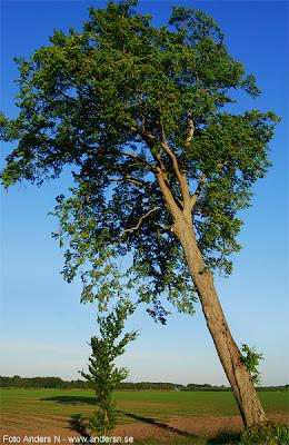 det lutar åt, lutande träd, leaning tree, foto anders n, tsyfpl