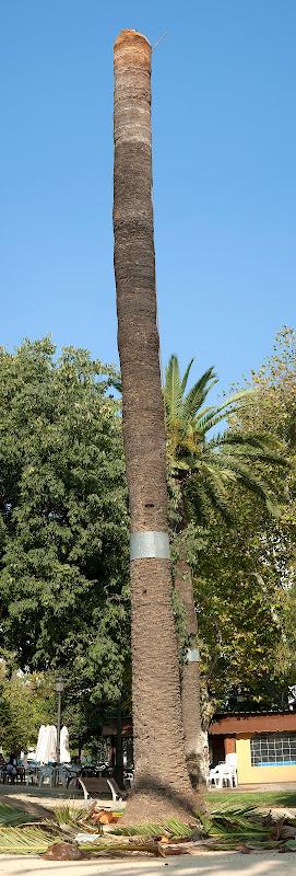 Tronco de palmera en el Parque del Retiro (Jerez)