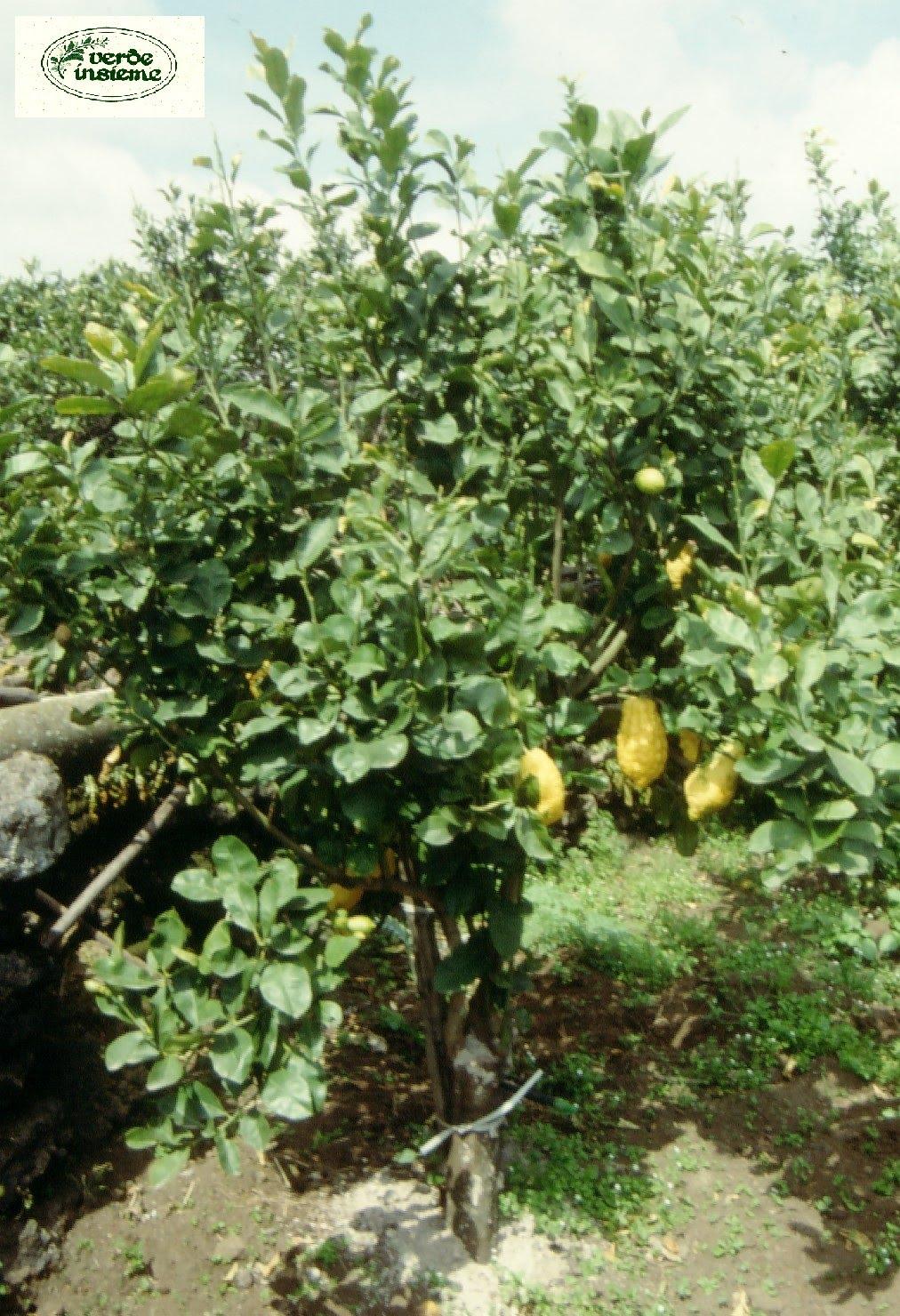 cedro agrume d 39 oriente