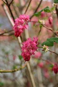 Frühlingsblüher Ribes
