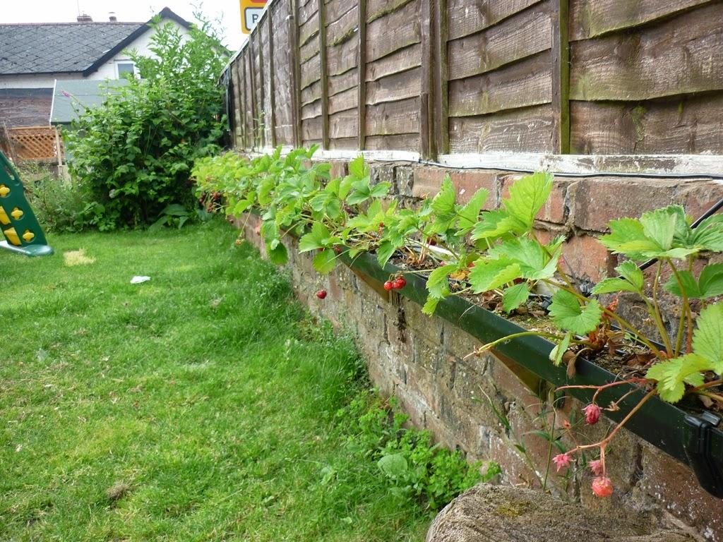 Growing strawberries in gutters diy idea - Strawberries In Guttering