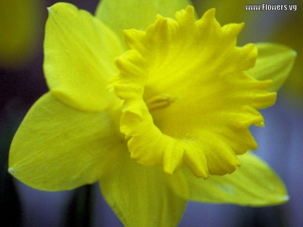 http://4.bp.blogspot.com/-kD3StjIbeb0/UIomhnr4mHI/AAAAAAAADZ8/tdmhZI1jjek/s1600/daffodil+(2).jpg