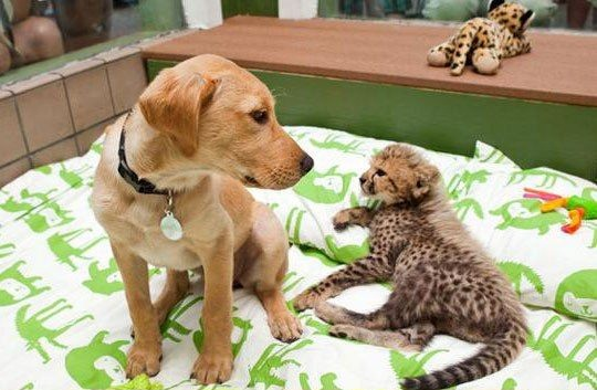 A dog and cheetah growing up together, animal friends, interspecies friends, cute animals