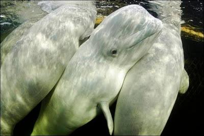 beluga-whale