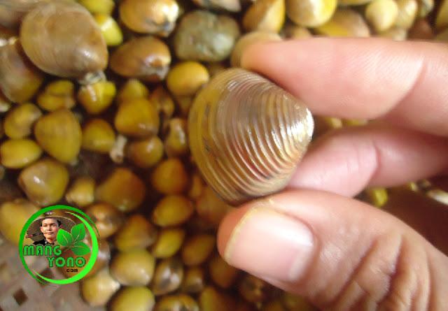 Vidio : Cara memisahkan daging remis dari cangkangnya