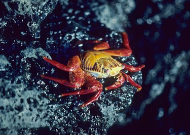 Sally Lightfoot Crab 2251