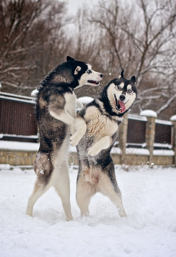 See more Siberian Huskies are playing http://cutepuppyanddog.blogspot.com/