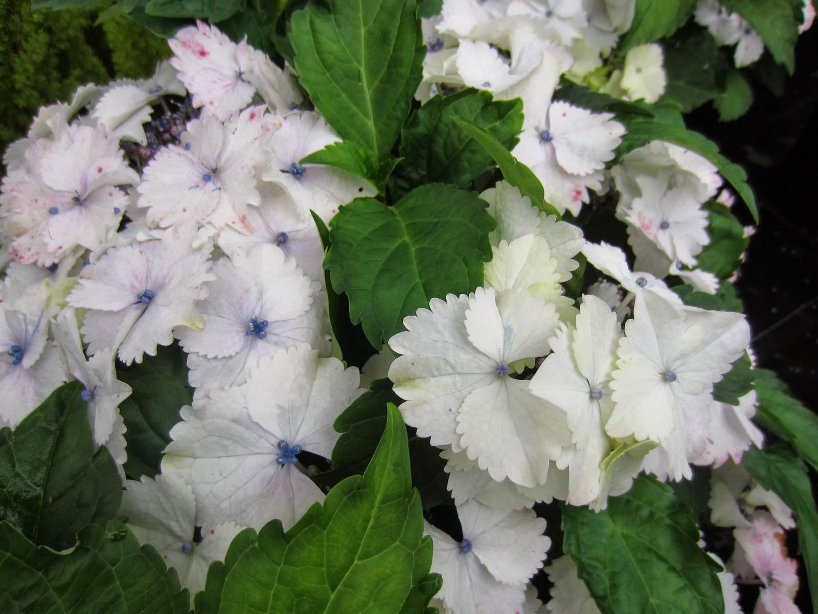 Natural hydrangea macrophylla hortensie hortensia - Variedades de hortensias ...