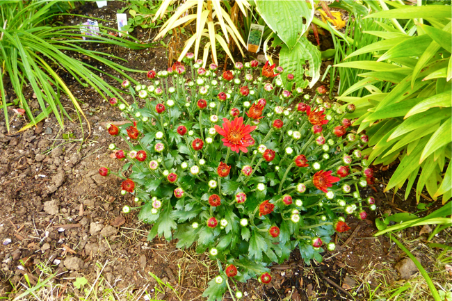 red, green, mums, crysanthemum, garden