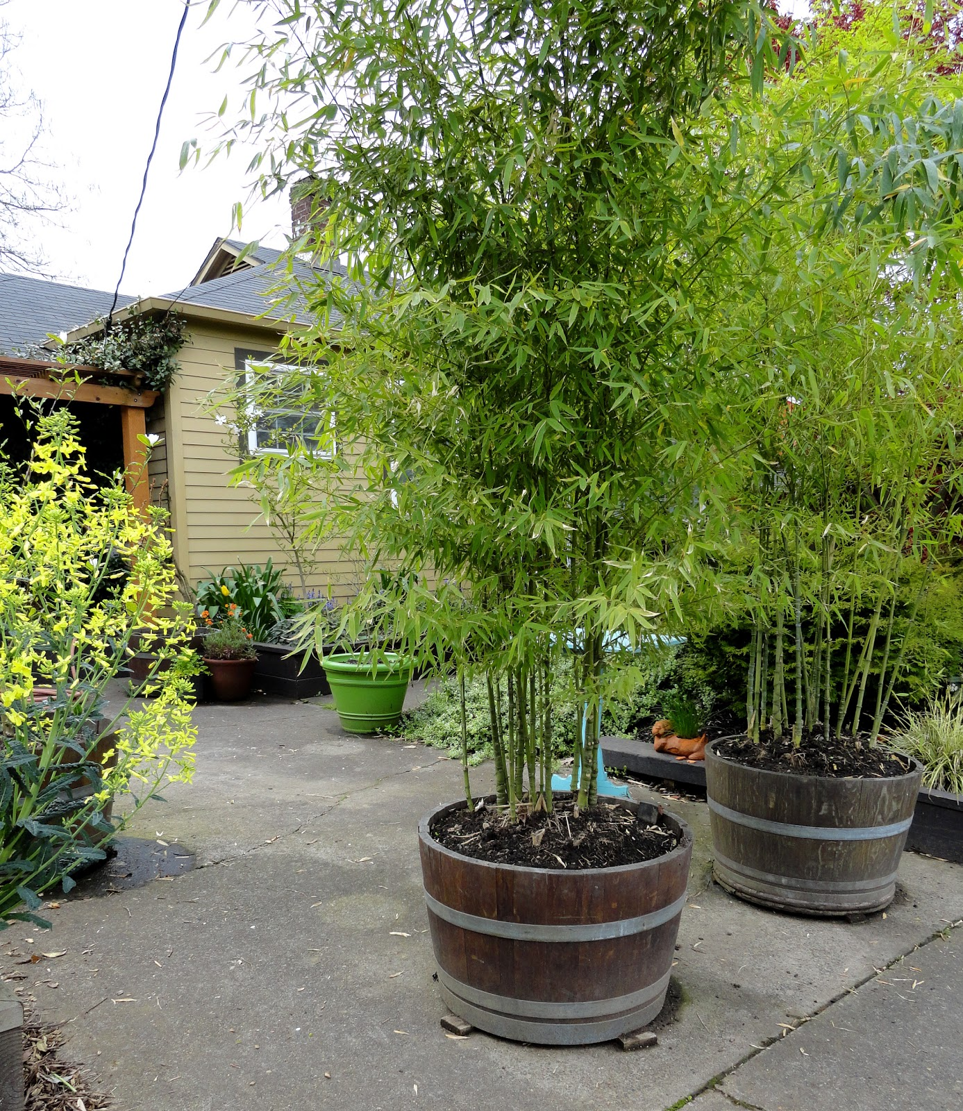 bamboo privacy garden danger garden: Bamboo for Privacy, a Follow-up