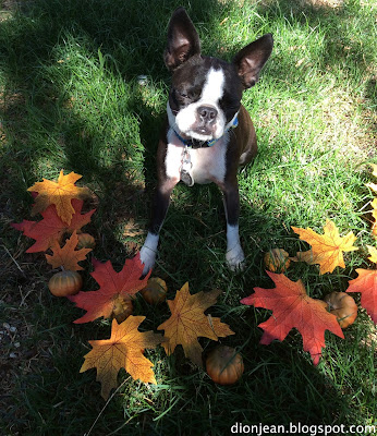 Sinead the Boston terrier falls asleep during her photo session