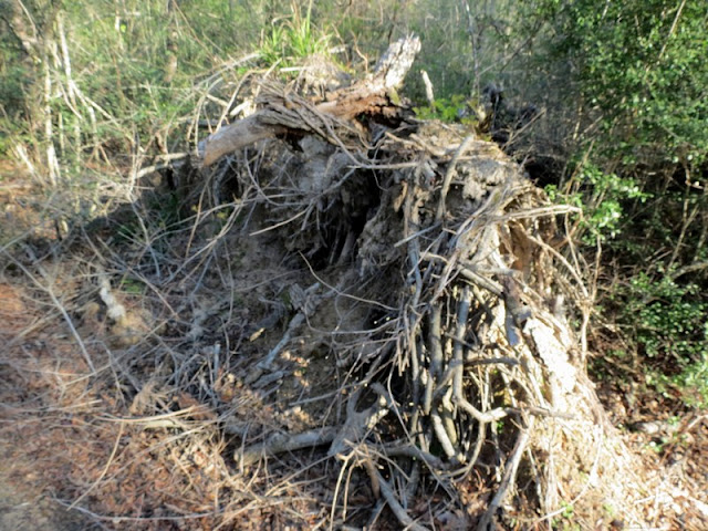 Uprooted tree at  Armand Bayou Nature Center.