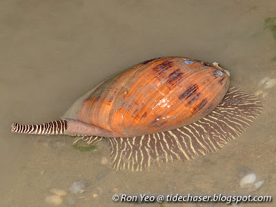 Baler Shell (Melo melo)