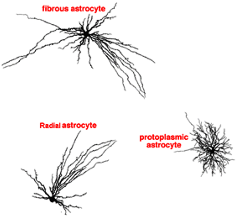 astrocyte  structure  function and disease