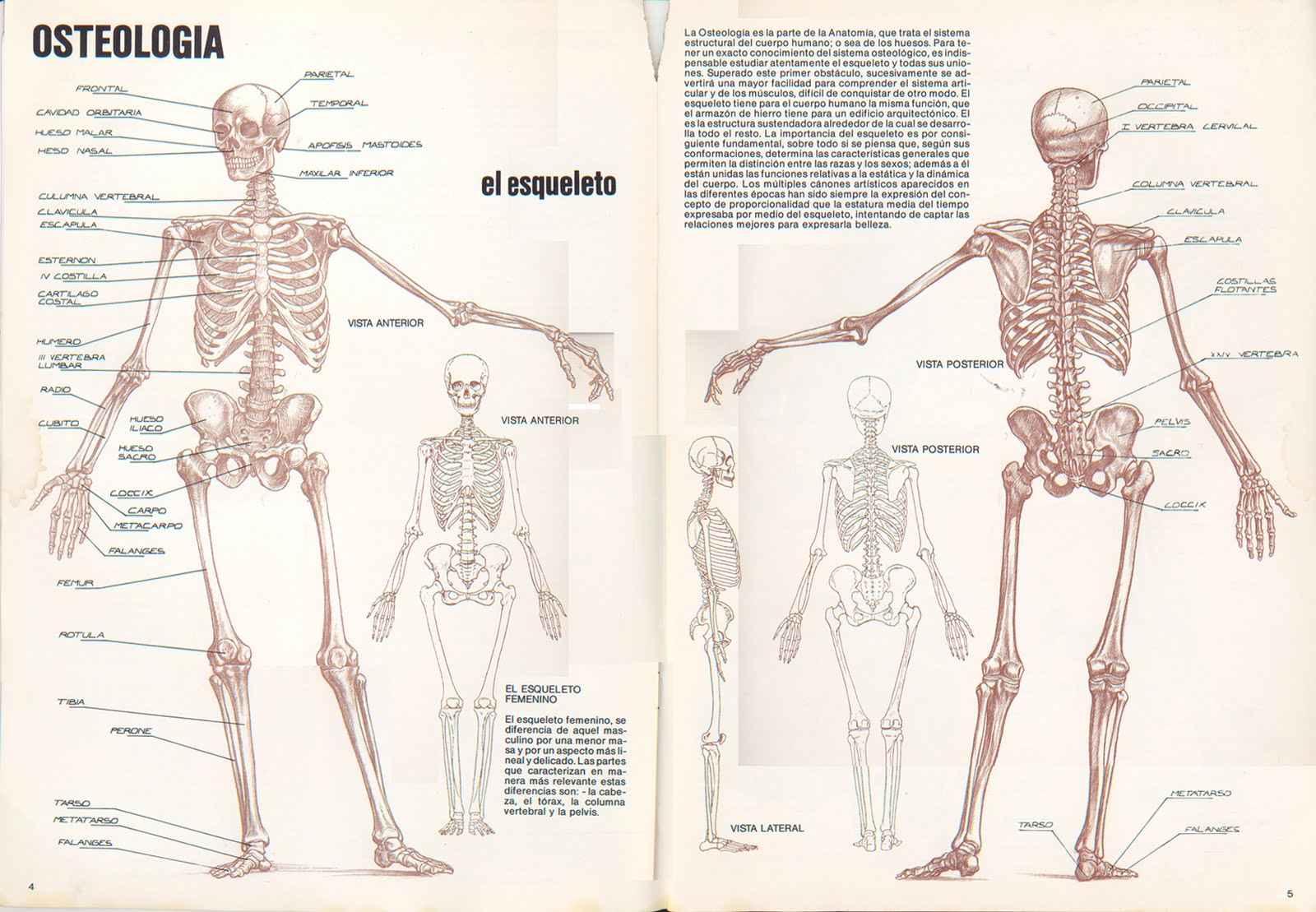 Magnífico Anatomía Humana Imágenes Reales Colección - Anatomía de ...