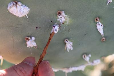Binomen Art - Dactylopius - Cochineal - Carmine