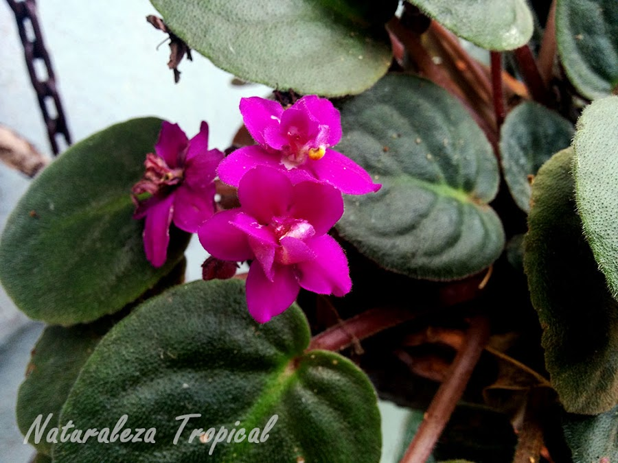 Violeta africana florecida, género Saintpaulia