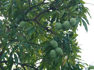 Hojas de palo de mango