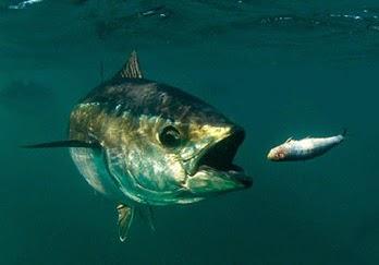 Gila Mancing ~ Serunya Dapat Ikan Tuna