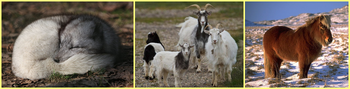 Zorro ártico, cabras y caballo islandeses