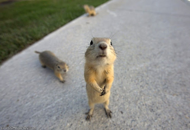 Gophers flee floods in Calgary, Canada