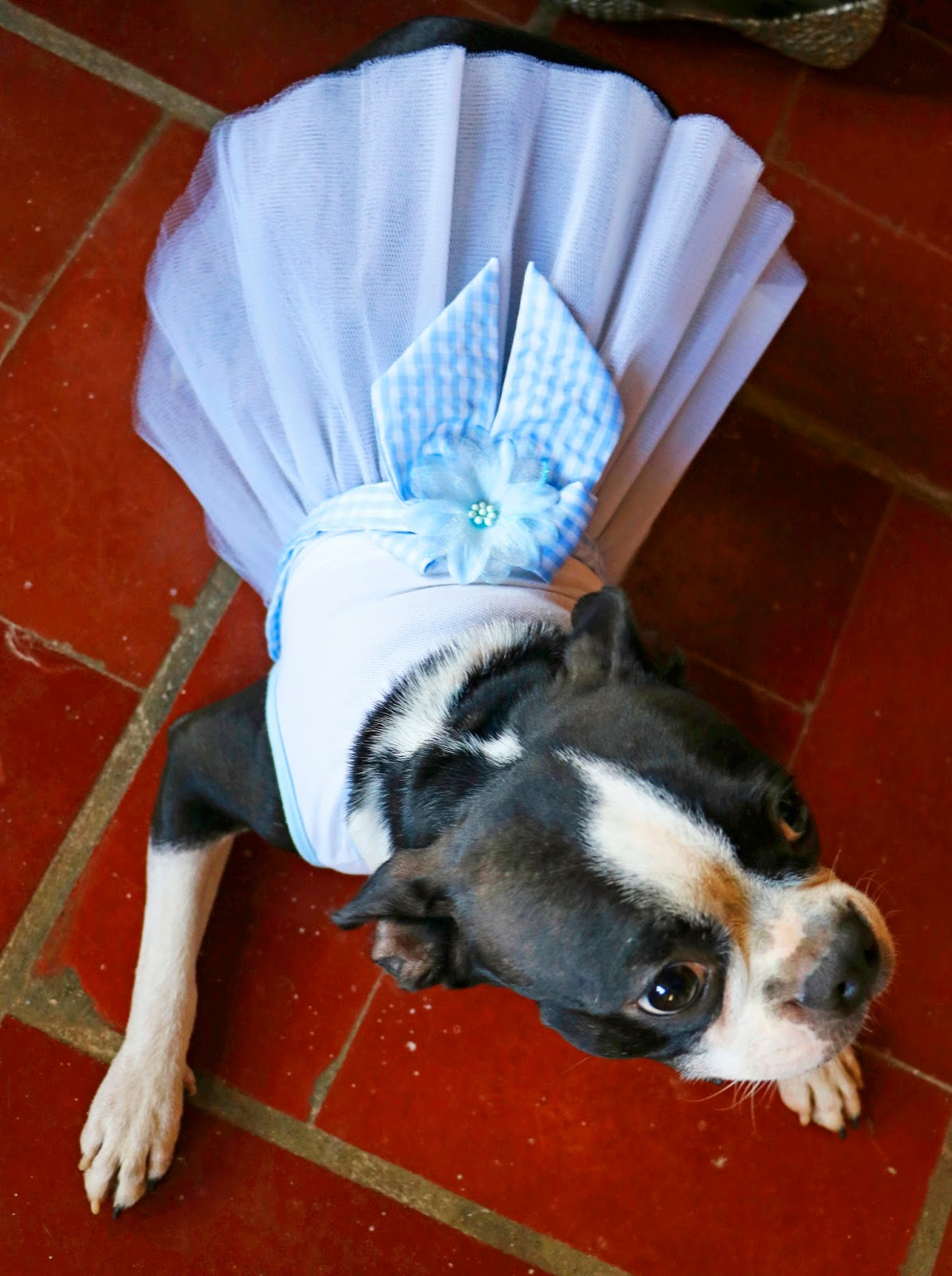Super cute Boston Terrier in a dress!