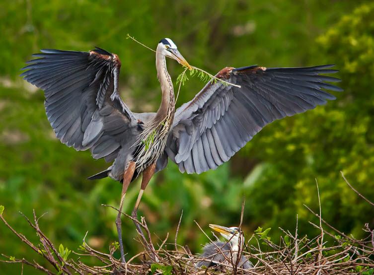 Baby blue heron bird - photo#12