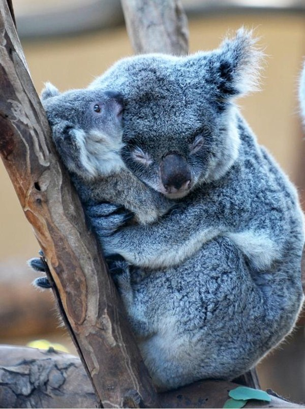 Koala mom hugs her baby koala, funny animal pictures of the week