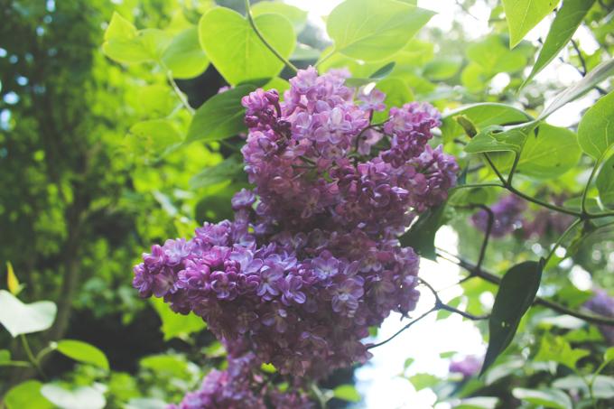 Lilacs at Golden Acre Park Leeds