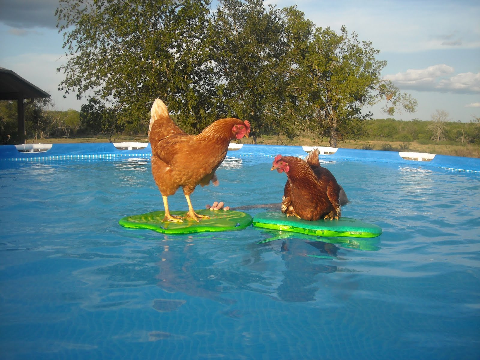 image gallery swimming chicken