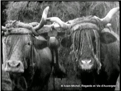 vaches attelées pour les fanaisons
