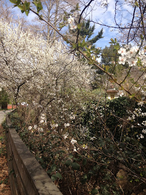 Spring Blossoms Fairfax Creek Californi