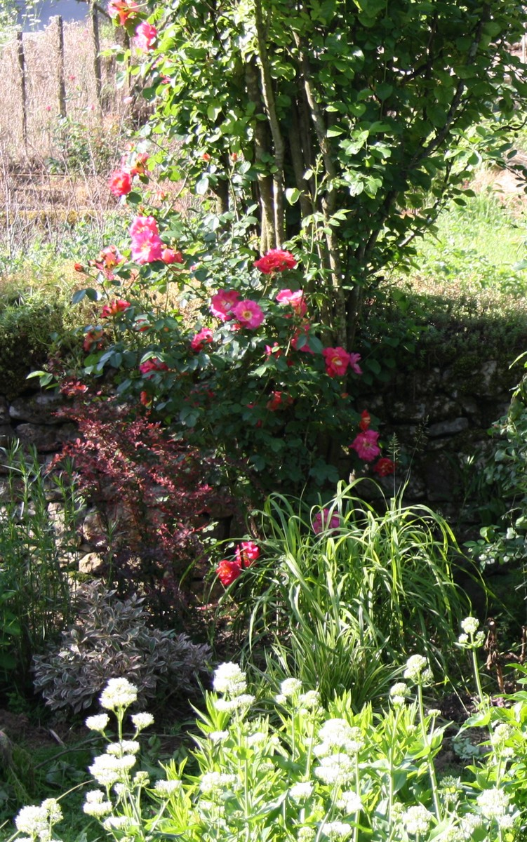 Le rosier bajazzo le blog de mon doubs jardin for Derriere les murs de mon jardin