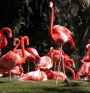 flamencos de color granate