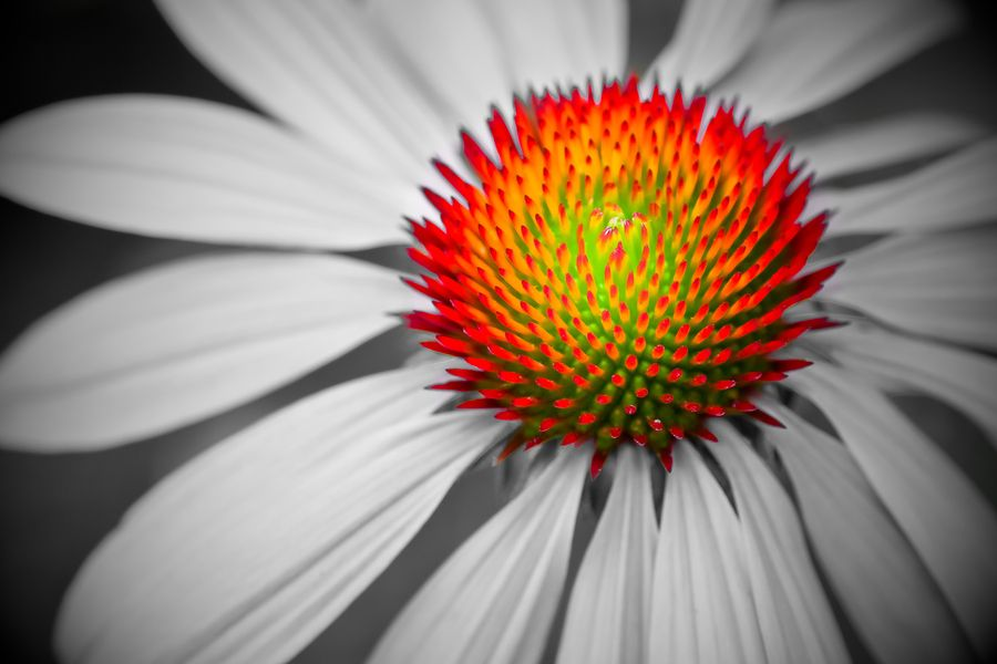 10. Coneflower by Rick Brown